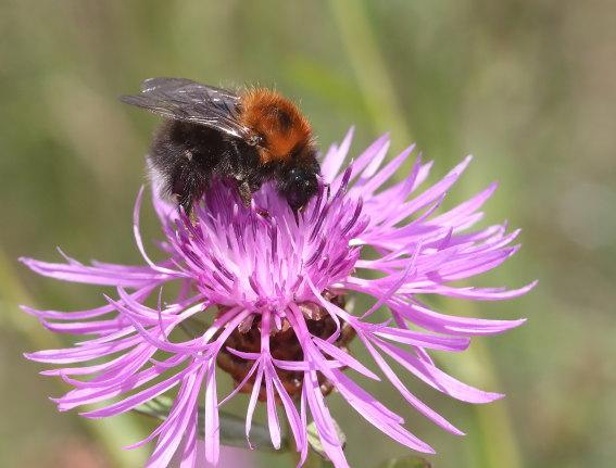 Bobus hypnorum - Baumhummel -  - Apiformes - Apidae - Bienen - Bees