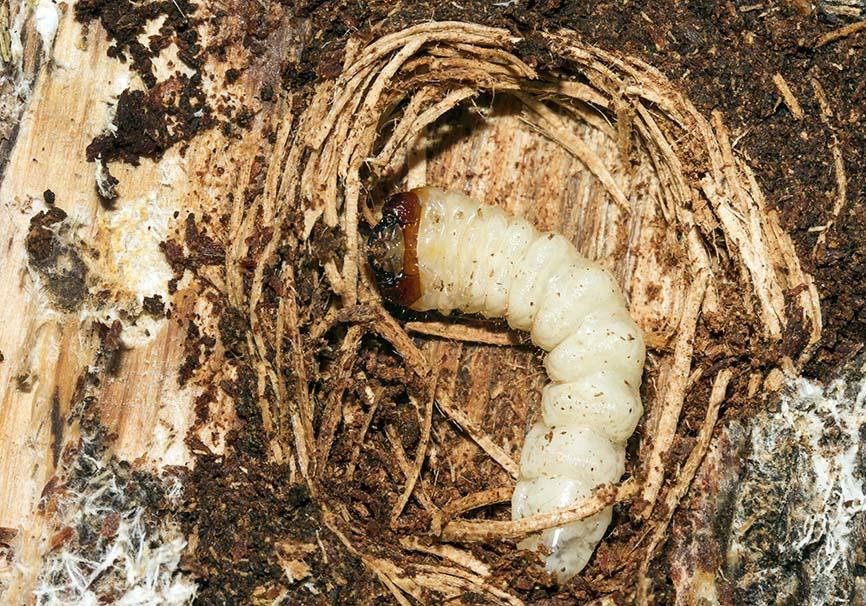Bockkäferlarve -  - Cerambycidae - Bockkäfer - long-horned beetles