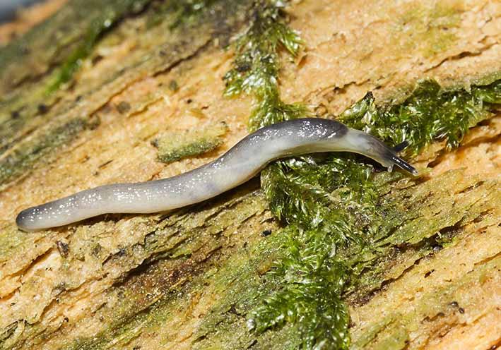 Boettgerilla pallens  - Wurmschengel - Fam. Boettgerillidae - Wurmschnegel - Stylommatophora - Landlungenschnecken - snails, slugs