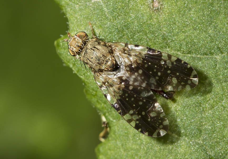 Bohrfliege  - Fam. Tephritidae - Bohrfliegen - Brachycera (Fliegenartige) - Schizophora - muscoids