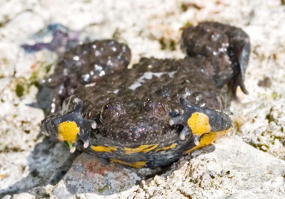 Bombina variegata - Gelbbauchunke - Kahnstellung - weitere Amphibien - other amphibians