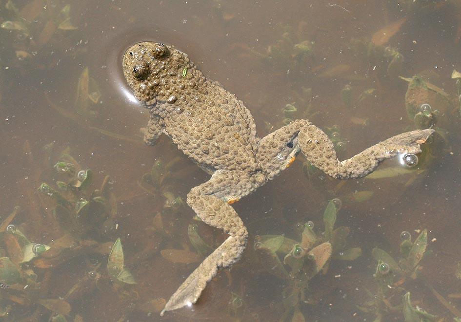 Bombina variegata - Gelbbauchunke -  - weitere Amphibien - other amphibians