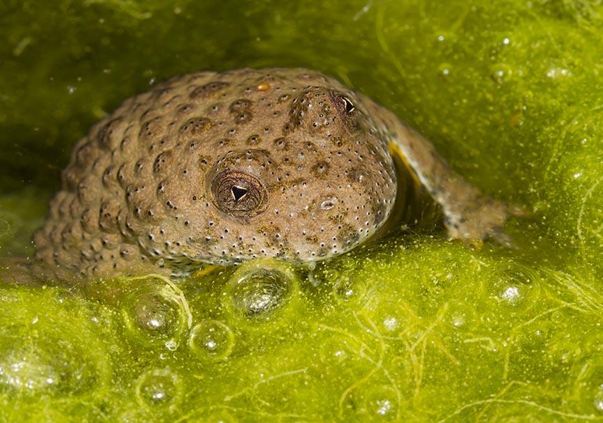 Bombina variegata -- Gelbbauchunke -  - weitere Amphibien - other amphibians