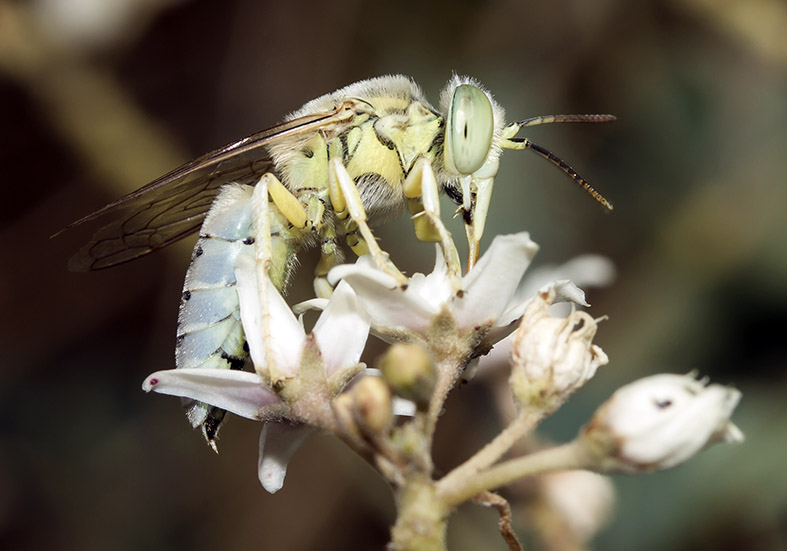 Bembix olivacea - Kreiselwespe - Kos - Sphecidae - Grabwespen - thread-waisted wasps