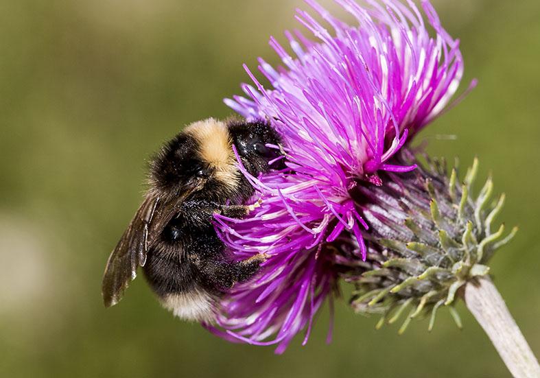 Bombus (P) bohemicus - Böhmische Hummel -  - Apiformes - Apidae - Bienen - Bees