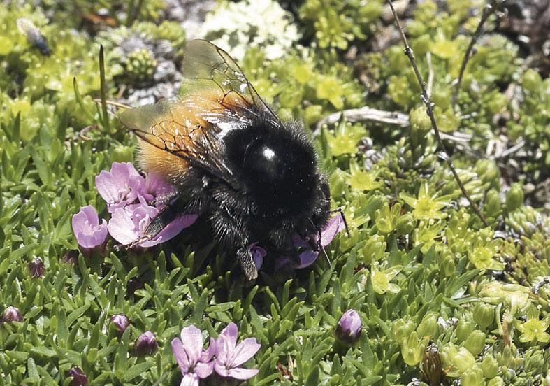 Bombus alpinus Alpenhummel -  - Apiformes - Apidae - Bienen - Bees