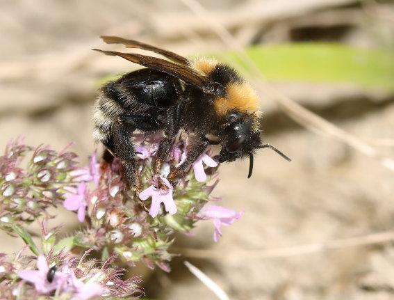 Bombus barbutellus - Bärtige Kuckuckshummel -  - Apiformes - Apidae - Bienen - Bees