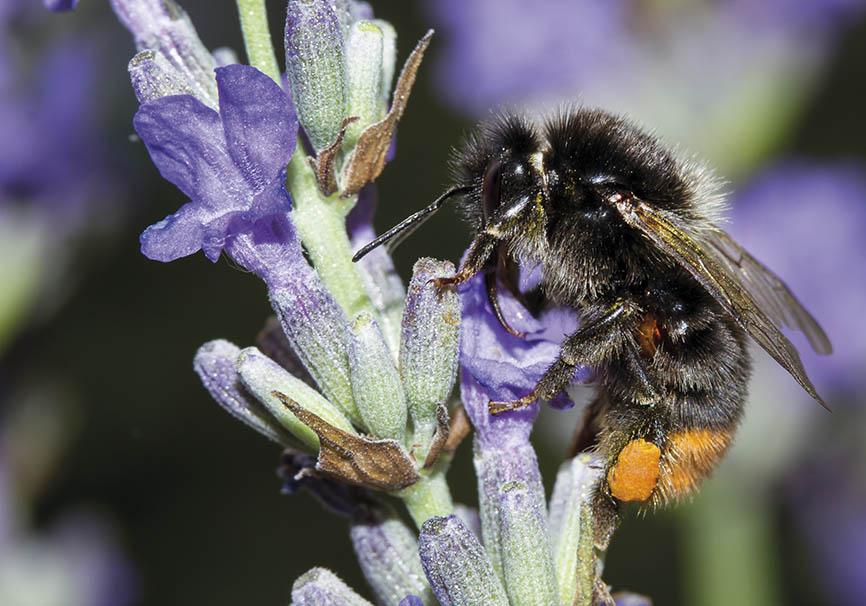 Bombus lapidarius - Lavandula angustifolia - Apidae - Apinae - Bienen - Bees