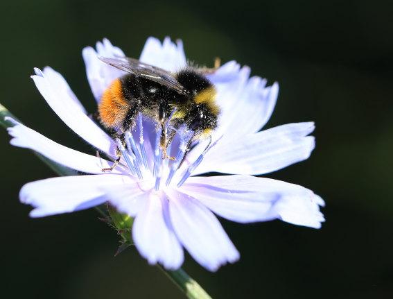 Bombus lapidarius - Steinhummel - Männchen - Apiformes - Apidae - Bienen - Bees