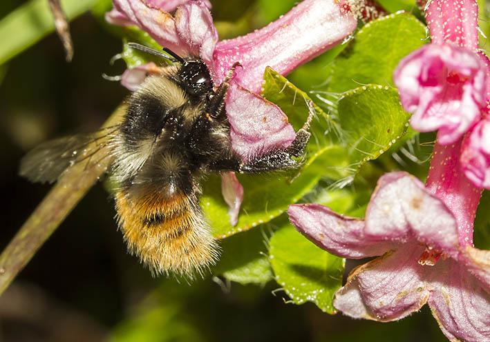 Bombus monticula-  Berglandhummel -  - Apiformes - Apidae - Bienen - Bees