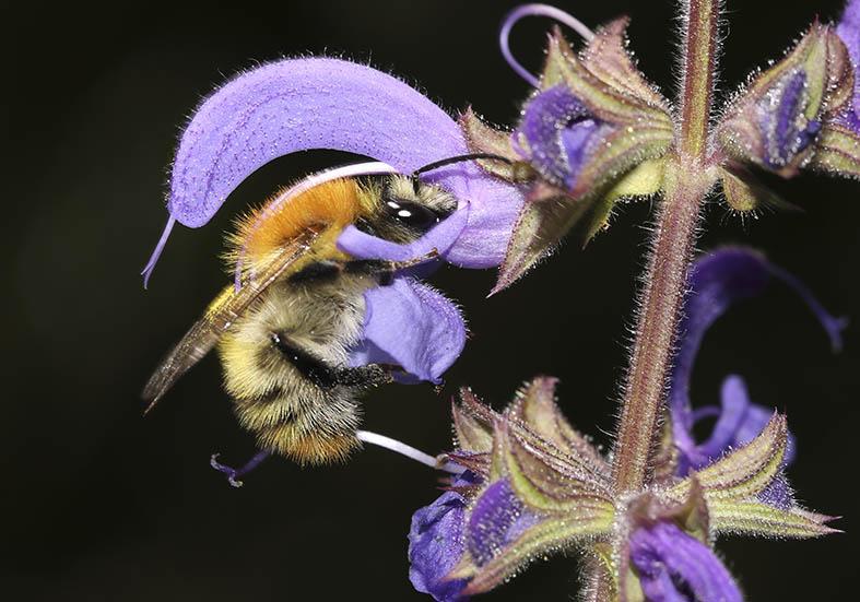 Bombus pascuorum - Ackerhummel -  - Apiformes - Apidae - Bienen - Bees
