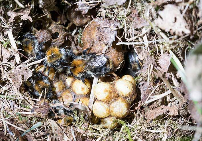Bombus pascuorum - Ackerhummel - Nest - Apiformes - Apidae - Bienen - Bees