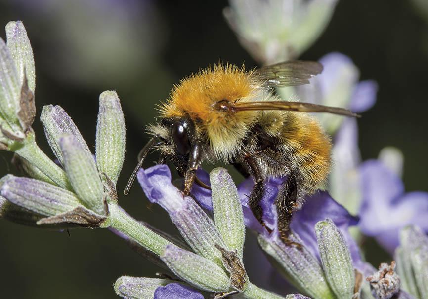 Bombus pascuorum  - Lavandula angustifolia - Apidae - Apinae - Bienen - Bees
