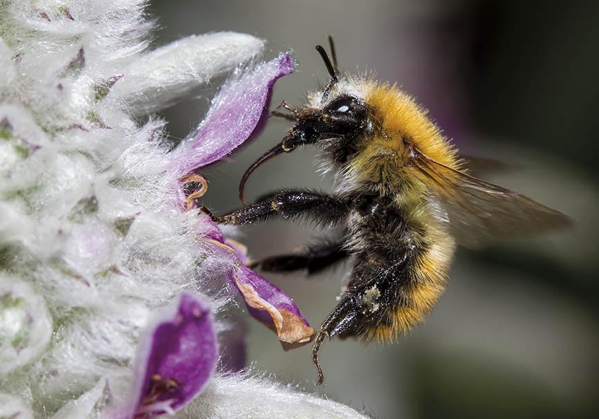 Bombus pascuorum  - Ackerhummel - Stachys byzantina - Apiformes - Apidae - Bienen - Bees