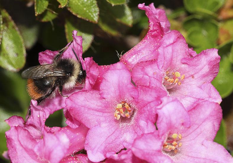 Bombus pyrenaeus Pyrenäen-Hummel -  - Apiformes - Apidae - Bienen - Bees