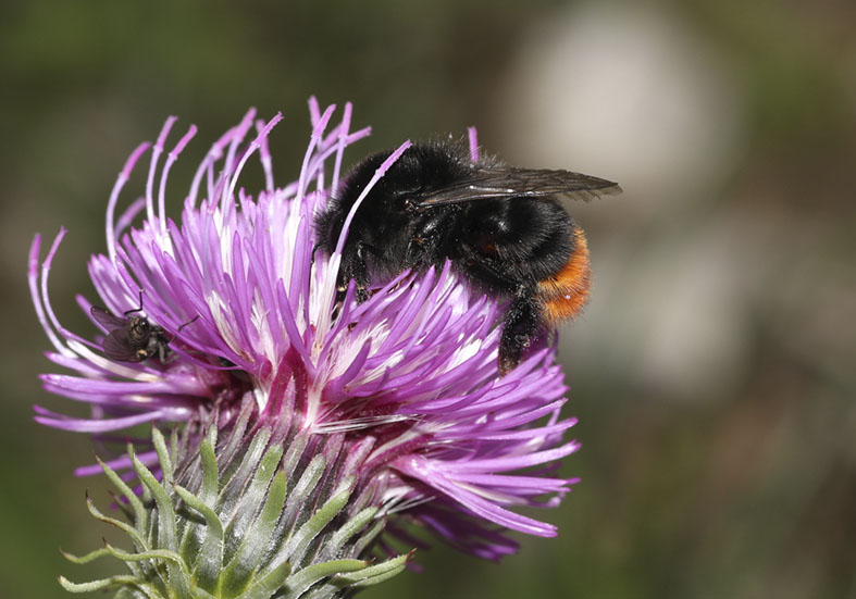 Bombus soroeensis Distelhummel -  - Apiformes - Apidae - Bienen - Bees