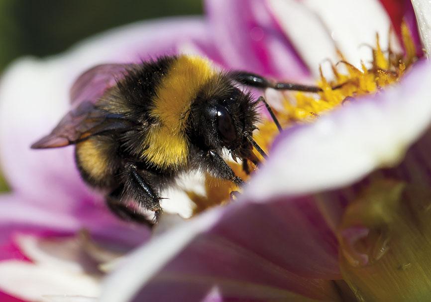 Bombus terrestris - Dunkle Erdhummel - Dahlia sp. - Apiformes - Apidae - Bienen - Bees