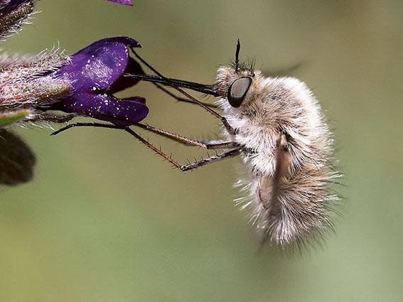 Bombylius cinerascens - Weibchen - female - Brachycera (Fiegenartige) - Orthorrhapha
