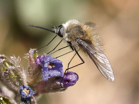 Bombylius cinerascens - Männchen - male - Brachycera (Fiegenartige) - Orthorrhapha