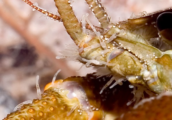 Befall mit Branchiobdella sp.  - Austropotamobius pallipes - Dohlenkrebs - Aquatische Krebstiere - aquatic crustacea