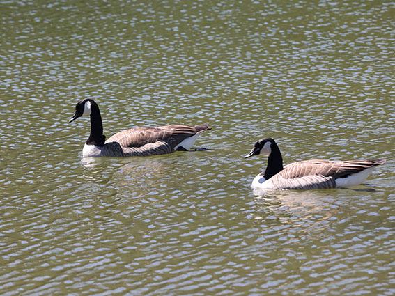 Branta canadensis - Kanadagans -  - Anatidae - Entenvögel - ducks, gees, swans