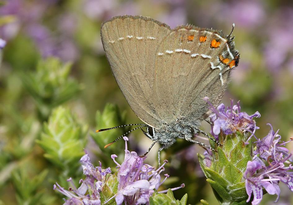 Satyrium ilicis - Brauner Eichenzipfelfalter - Samos - Lycaenidae  - Bläulinge  -  gossamer-winged butterflies