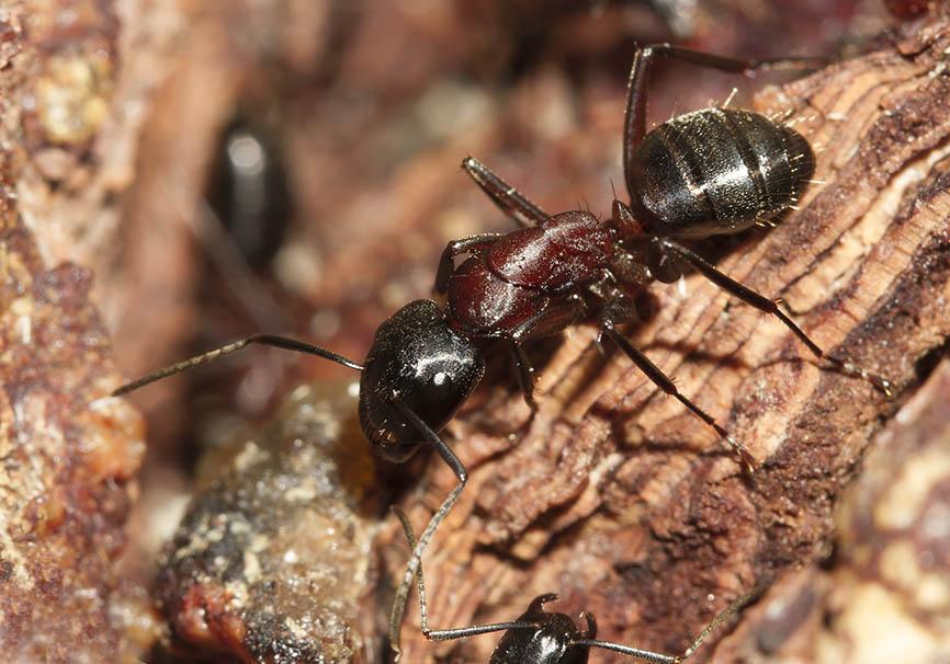 Camponotus ligniperdus - Braunschwarze Rossameise   -  - Formicidae - Ameisen - ants