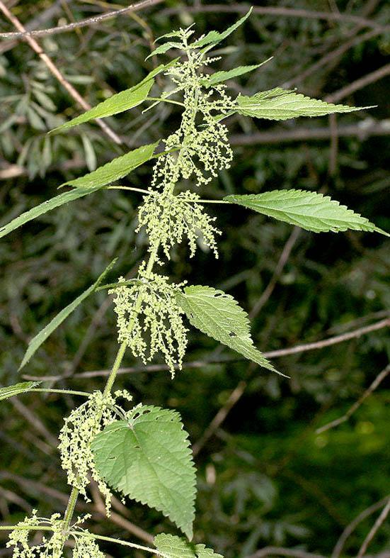 Urtica dioica - Brennnessel - Fam. Utricaceae - Wegrand, Ruderalpflanzen - ruderal species