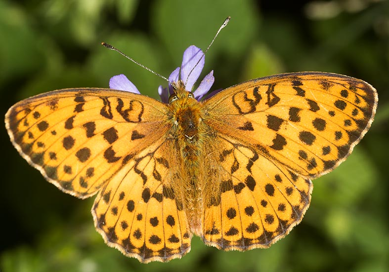 Brenthis daphne  -  Brombeer-Perlmuttfalter - Zagori (Griechenland) - Nymphalidae - Edelfalter - brush-footed butterflies