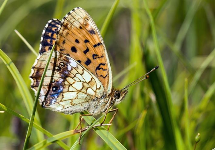 Brenthis ino - Mädesüß-Perlmutterfalter -  - Nymphalidae - Edelfalter - brush-footed butterflies