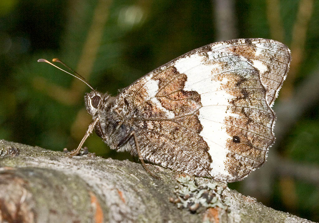 Brintesia circe - Weißer Waldportier - Kroatien - Nymphalidae - Edelfalter - brush-footed butterflies
