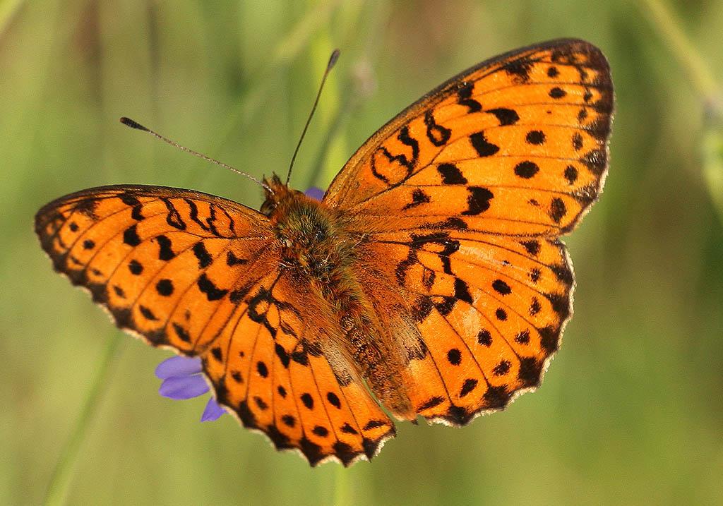 Brenthis daphne - Brombeer-Perlmutterfalter   - Kroatien - Nymphalidae - Edelfalter - brush-footed butterflies
