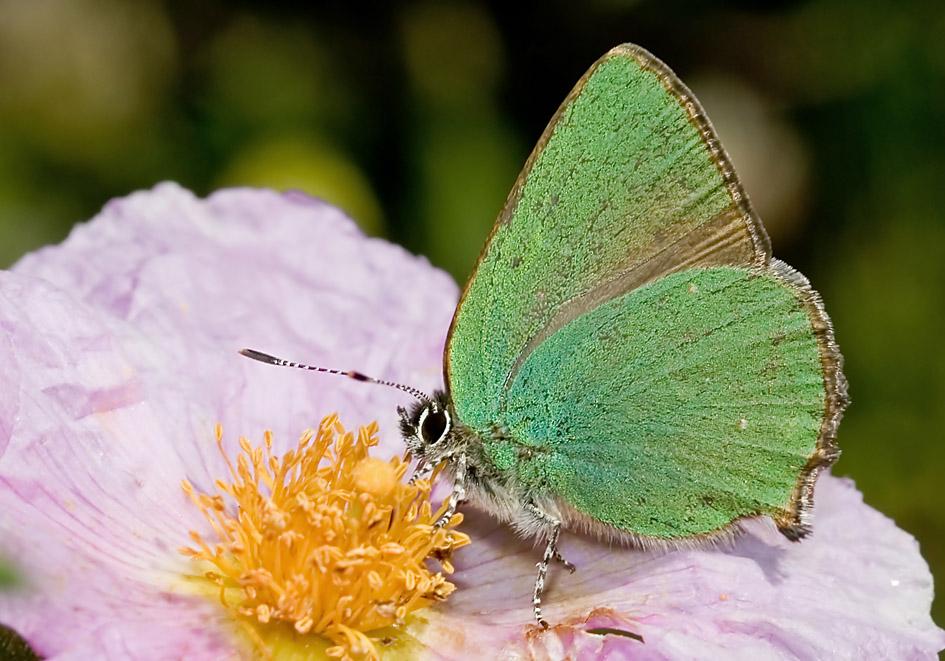 Callophrys rubi - Brombeer-Zipfelfalter - Naxos - Lycaenidae  - Bläulinge  -  gossamer-winged butterflies