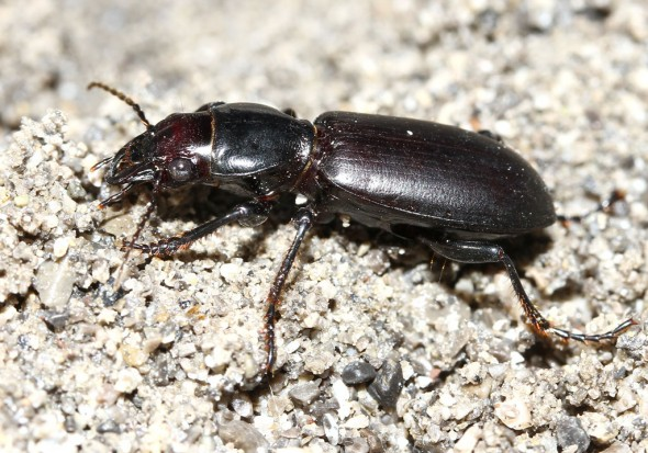 Broscus cephalotes - Kopfläufer -  - Carabidae - Laufkäfer - ground beetles