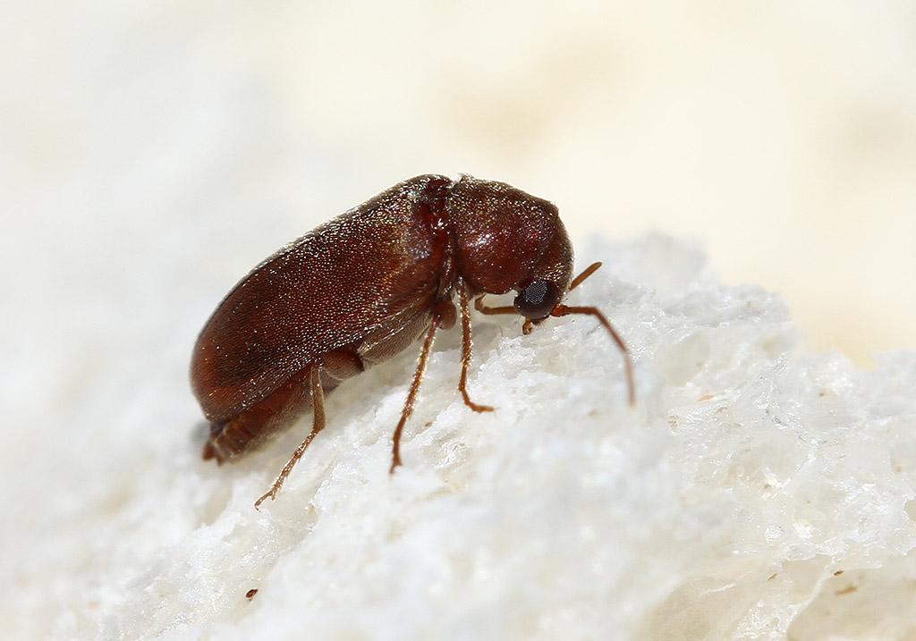 Brotkäfer - Stegobium paniceum  - Fam. Ptinidae - Nagekäfer - weitere Käferfamilien - other beetle families