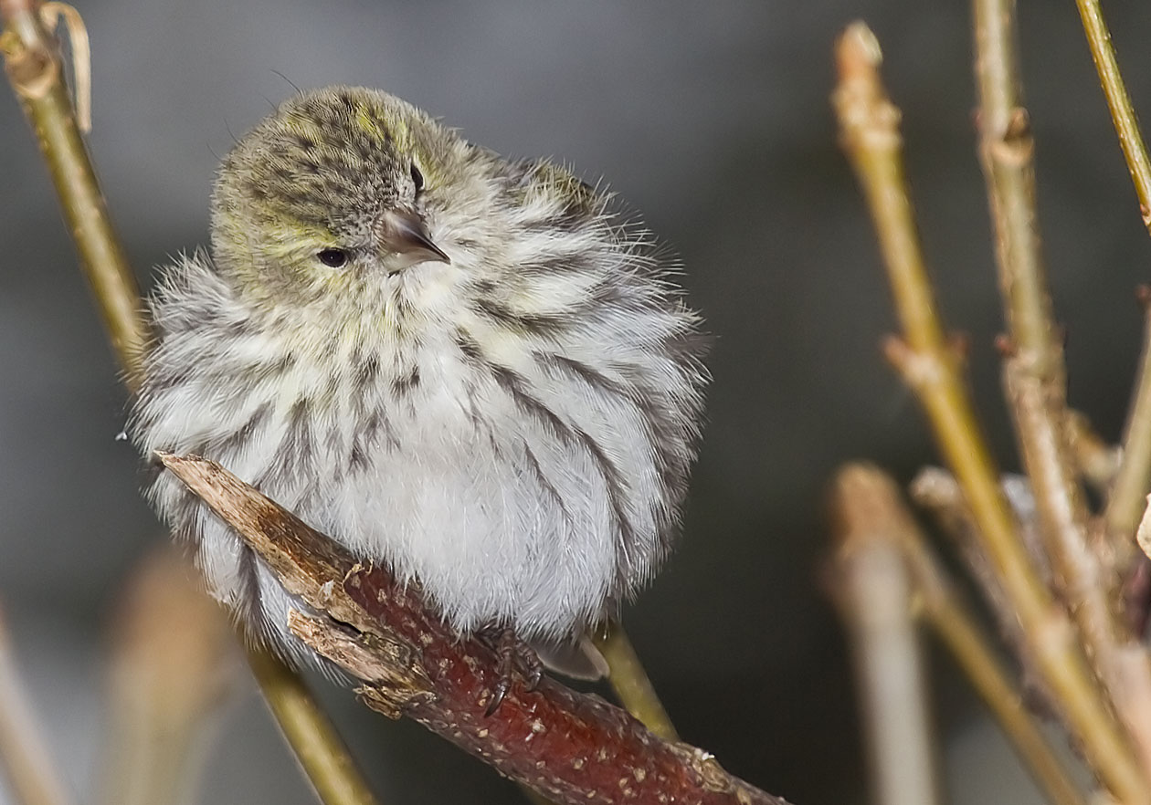 Carduelis spinus - Zeisig (Weibchen) - Siskin -  - Passeres - Singvögel - songbirds