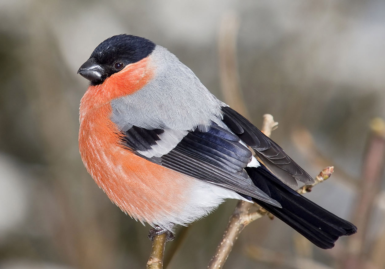 Pyrrhula pyrrhula - männlicher Gimpel - Bullfinch -  - Passeres - Singvögel - songbirds