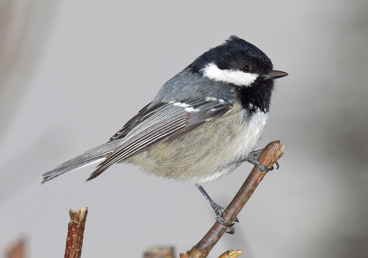 Parus ater - Tannenmeise -C oal tit -  - Passeres - Singvögel - songbirds