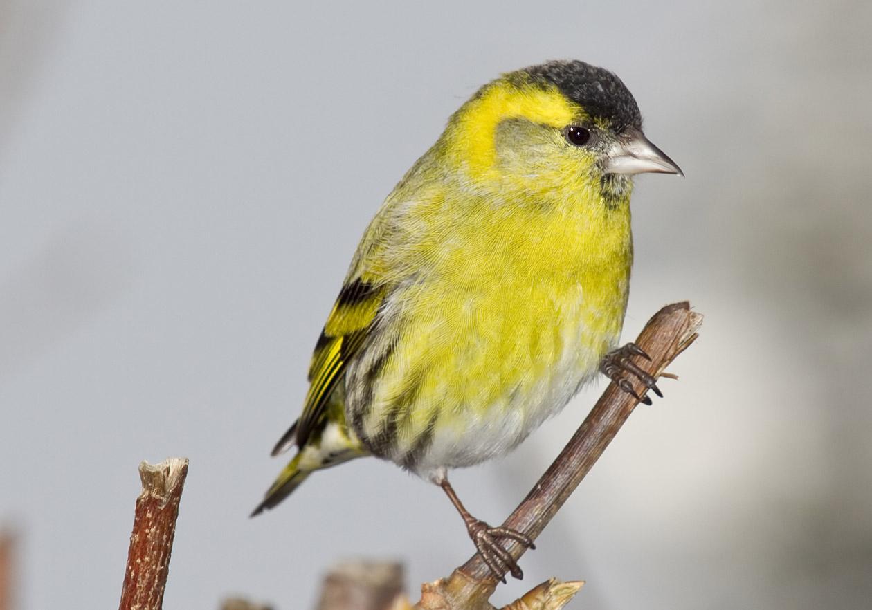 Carduelis spinus - Zeisig (Männchen) - Siskin -  - Passeres - Singvögel - songbirds