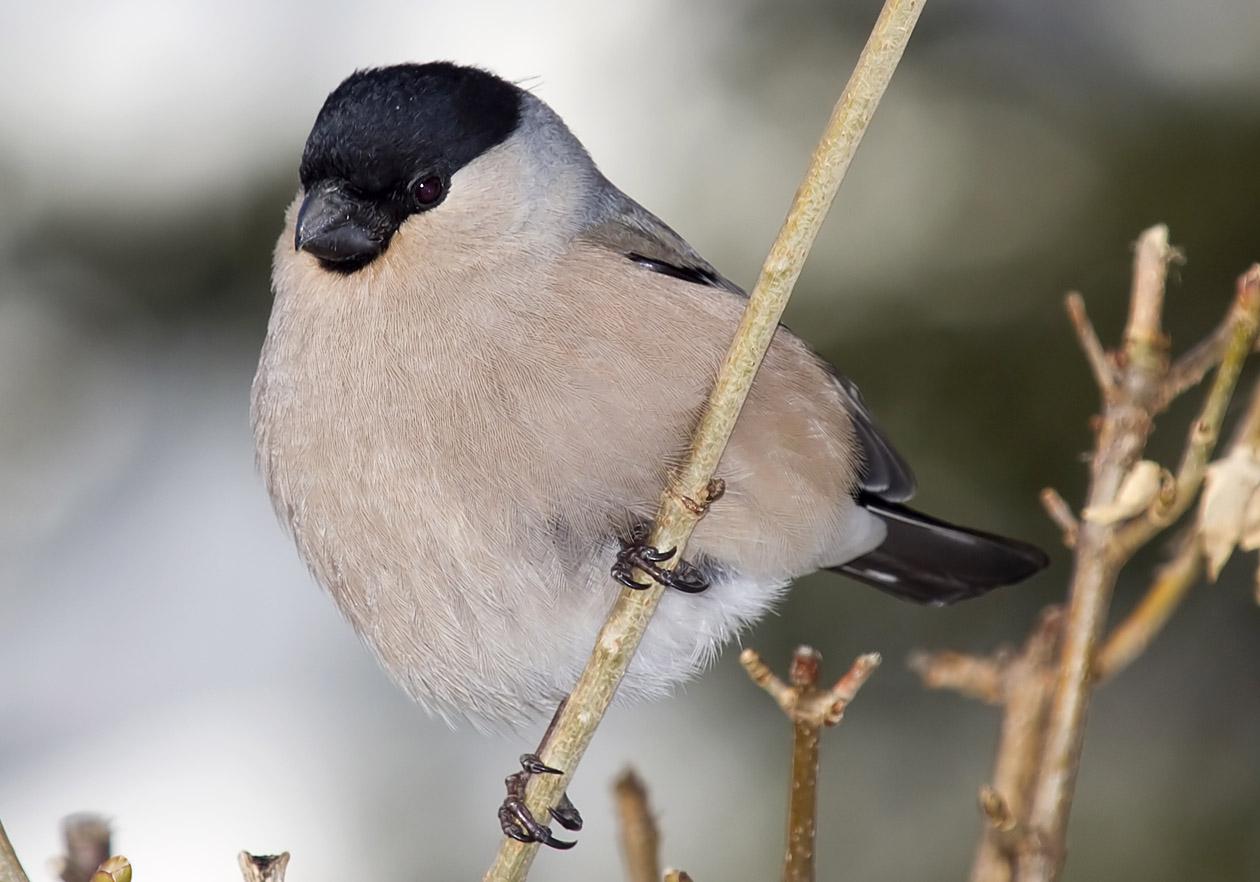 Pyrrhula pyrrhula - Gimpel (Weibchen) - Bullfinch -  - Passeres - Singvögel - songbirds