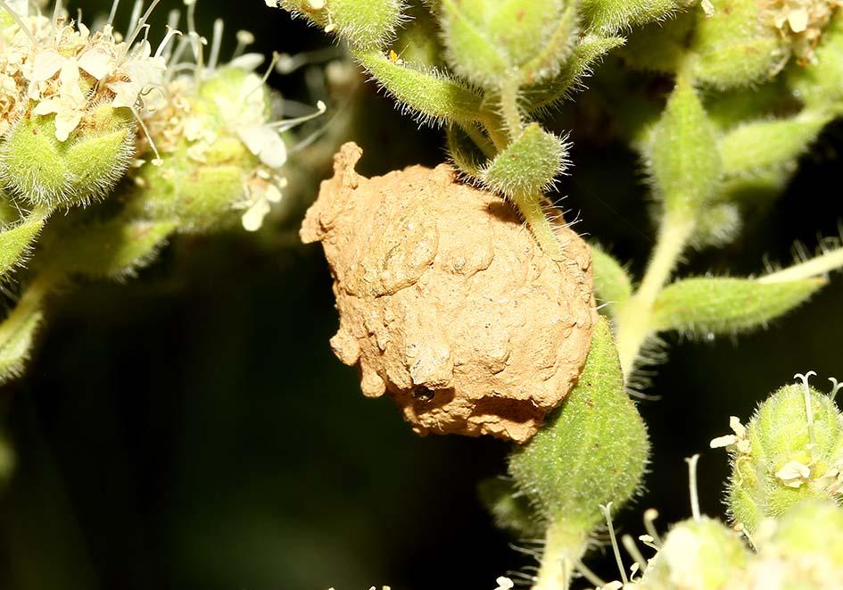 Brutzelle einer Eumenes sp. (Töpferwespe) -  - Vespidae - Faltenwespen -wasps