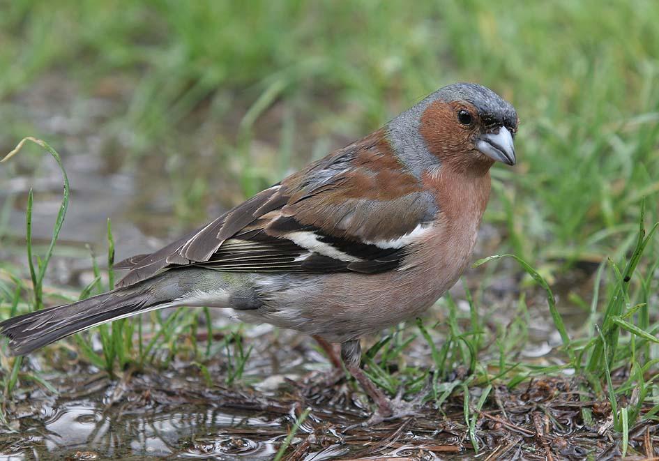 Fringilla coelebs - Buchfink -  - Passeres - Singvögel - songbirds
