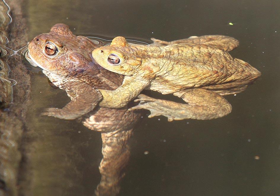 Bufo bufo - Erdkröte -  - Bufonidae - Kröten - toads
