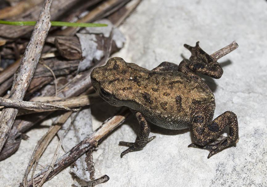 Bufo bufo - Erdkröte (juv.) -  - Bufonidae - Kröten - toads