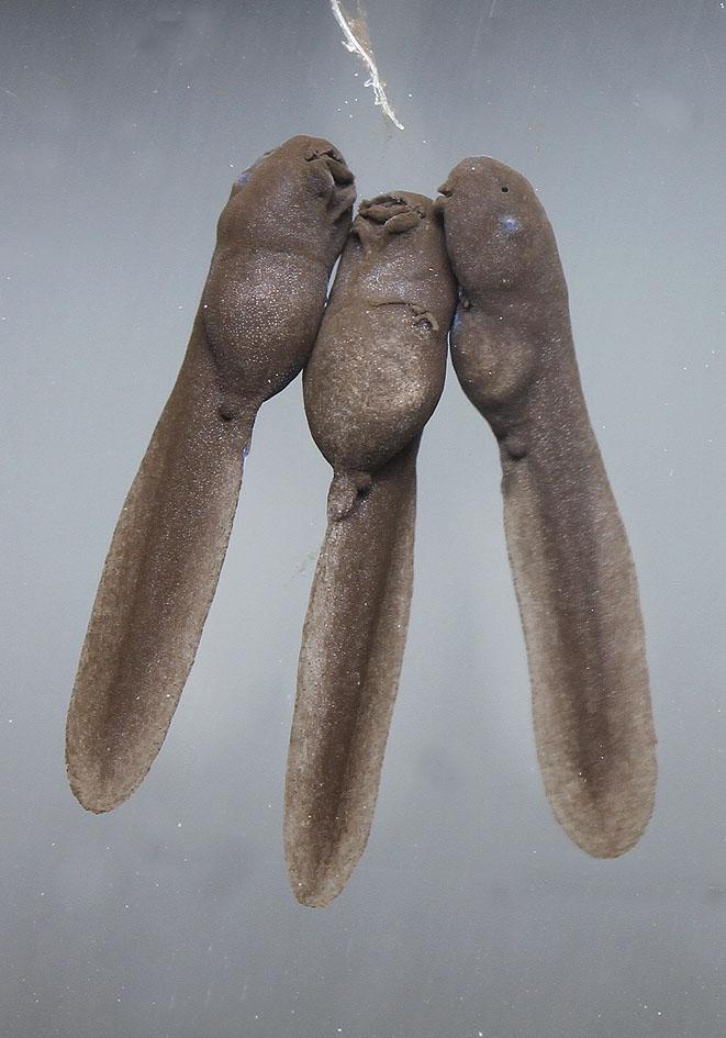 Bufo bufo Larven mit äüßeren Kiemen - larvae with external gills -  - Amphibienentwicklung - amphibian development