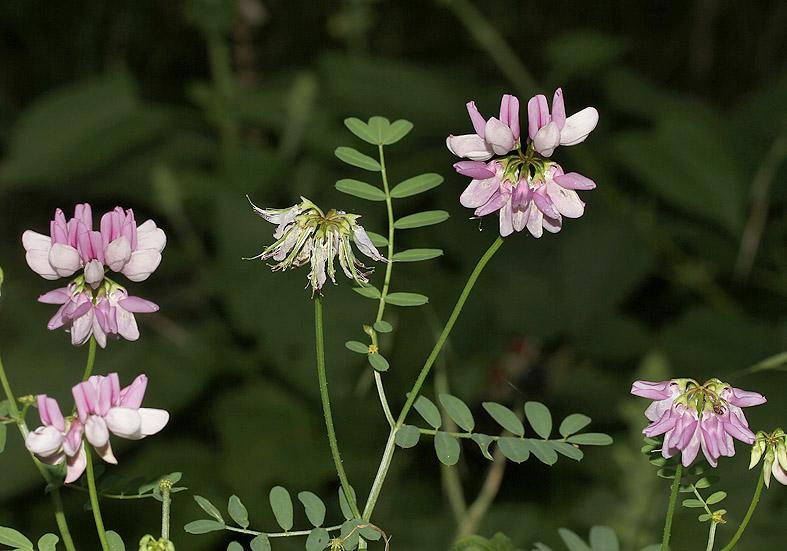 Securigera varia - Bunte Kronwicke  - Fam. Fabaceae - Trockenrasen - dry grasslands