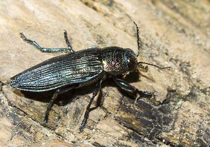 Buprestis rustica - Bauern-Prachtkäfer -  - Buprestidae - Prachtkäfer -  jewel beetles