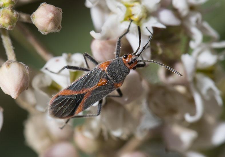 Caenocoris nerii - Fam. Lygaeidae  -  Kos - Heteroptera - Wanzen - true bugs