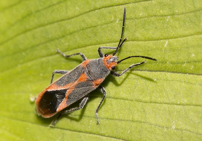 Caenocoris nerii - Fam. Lygaeidae  -  Naxos - Heteroptera - Wanzen - true bugs