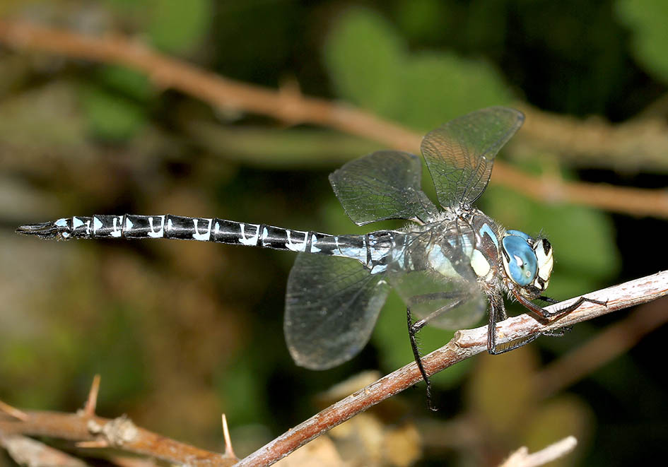 Caliaeshna microstigma - Schattenlibelle - Fam. Aeshnidae  -  Samos - Anisoptera - Großlibellen - dragonflies